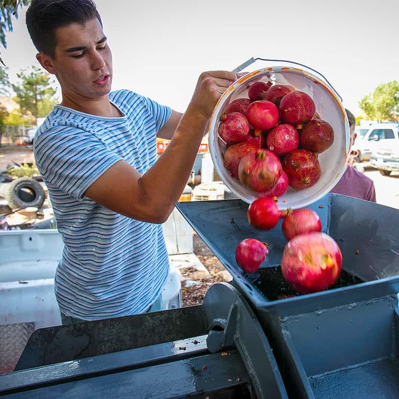 FFA member filling bins with fresh pomegranates.