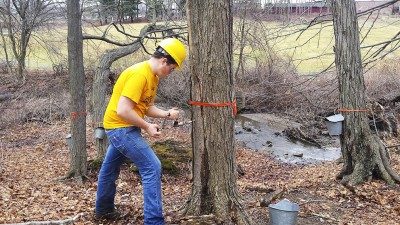 Tap maple tree